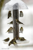 Pine Siskins and an American Goldfinch at the feeder.
