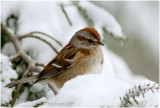 American Tree Sparrow is a winter visitor; here in a northern hemlock tree.