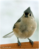 Tufted Titmouse: a PA breeding bird and resident.