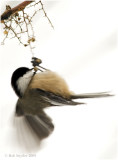 Chickadees are very acrobatic and often feed upside down.