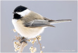 Black-capped Chickadees are PA breeding birds and also stay through winter.