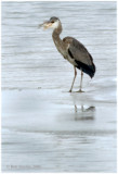 A Great Blue Heron robbed the fish from the Herring Gull. It is a very large fish!