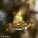 Pine Siskins are called 'an irruptive species' as they move unpredictably, based availability of their food sources.
