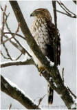 Coopere's Hawl, a large accipter, winters in PA.