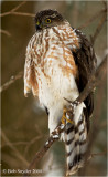 A smaller cousin of the Cooper's, is the Sharp-shinned Hawk; often seen around bird feeders.