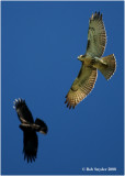 Red-tail Hawks are here year 'round in PA.  This hawk is being harrassed by an American Crow.