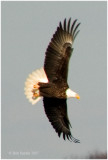 This is one member of the resident pair of Bald Eagles at Bald Eagle State Park