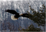 Bald Eagle coming in for a landing.