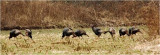 Wild Turkeys can be found in open fields next to wooded areas.