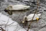Trumpeter Swans stopover in Clinton Co., PA