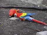 Scarlet Macaws Enjoying Their Treats