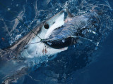 Short-finned Mako Shark
