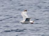 Nelson's (Herring x Glaucous) Gull