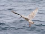 Undetermined Gull