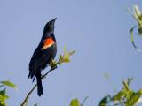 Blackbirds and Orioles
