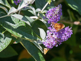 IMG_7670_two_butterflies.jpg
