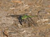 IMG_1563 green Dragonfly.jpg