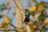 Hummingbird_Broad-billed