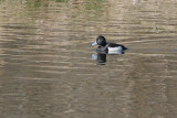 Duck _ Tufted