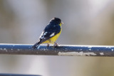 Goldfinch_Lesser
