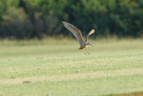 Curlew _ Long-billed