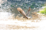 Owl_Great Horned  & attacking  Peregrine