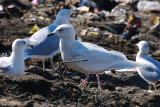Gull_Iceland