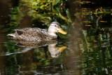 Duck _ Mottled