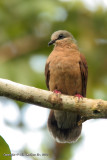 White-eared Brown-dove