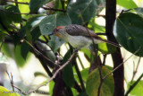 Rusty-crowned Babbler