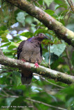 Amethyst Brown-dove