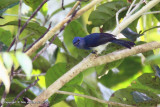 Short-crested Monarch