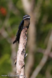 Whiskered Tree-swift