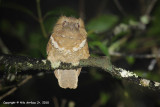 Philippine Frogmouth