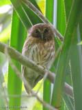 Mindanao Hawk-Owl