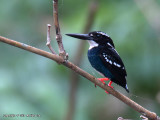 Silvery Kingfisher