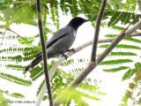 Black-bibbed Cuckoo-shrike