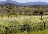 Springtime in the vineyards1r.jpg