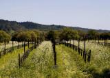 Springtime in the vineyards.jpg