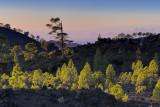 Last Light at Teide Pine Forest