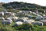 Texel schapen