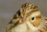 Clay-colored Sparrow, head closeup