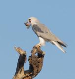 White-tailed Kite, feeding, October 2008
