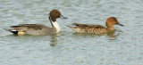 Northern Pintails, pair