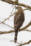 Accipiter sp, first winter