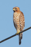 Red-shouldered Hawk, first winter