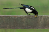 Yellow-billed Magpie, wiping bill