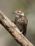Arizona Woodpecker, male