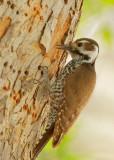 Arizona Woodpecker, female
