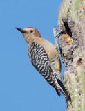 Gila Woodpecker, male at nest